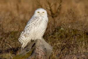 Michel Soucy Presents Snowy Owls