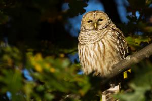 New Barred Owl Additions..